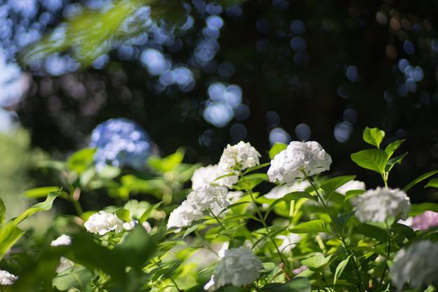 相模原北公園【紫陽花: 西洋アジサイ(白)】1