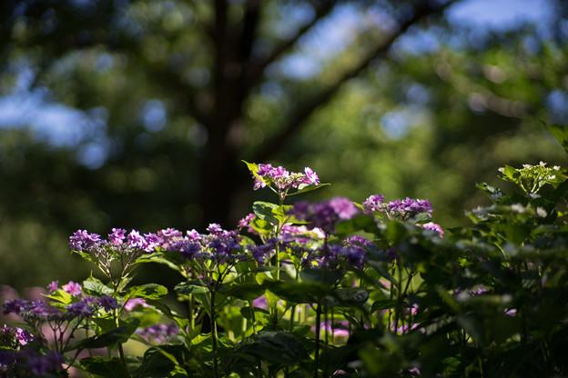 相模原北公園【紫陽花: 混種】