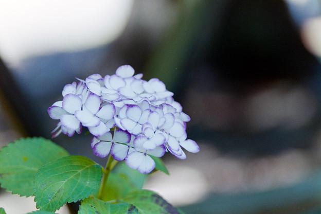 相模原北公園【紫陽花: ジャパーニュ・ミカコ】銀塩