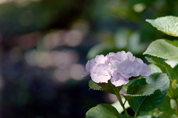 相模原北公園【紫陽花: レディ・ミツコ】銀塩