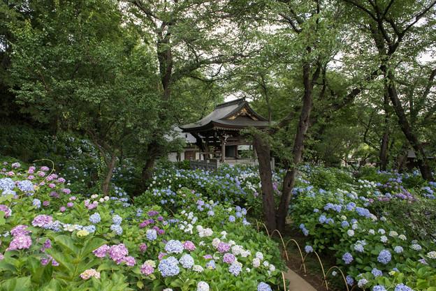 妙楽寺【境内左側の紫陽花の群生】1