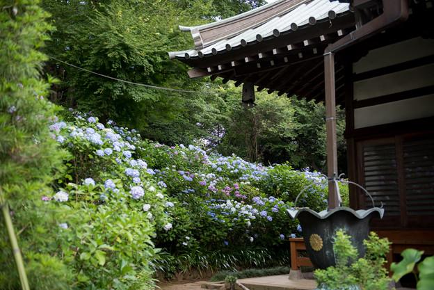 妙楽寺【境内左側の紫陽花の群生】4