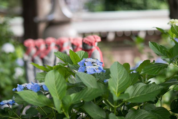 妙楽寺【紫陽花のアップ】2