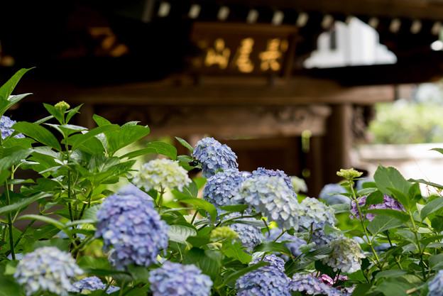 妙楽寺【紫陽花のアップ】4