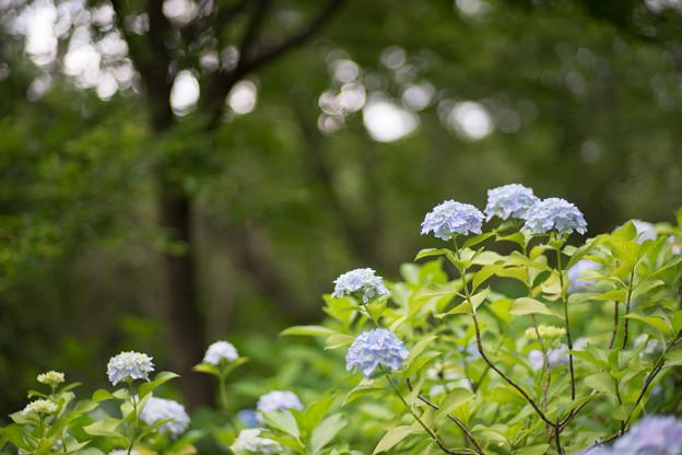 生田緑地【あじさい山の紫陽花】2