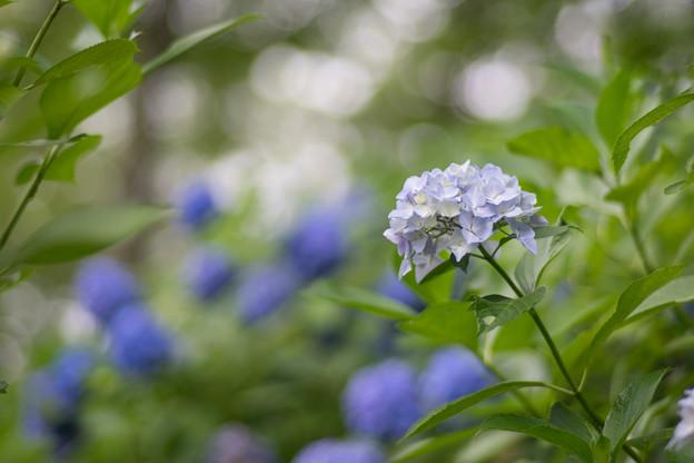 生田緑地【あじさい山の紫陽花】6