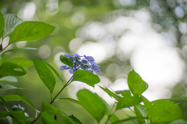 生田緑地【あじさい山の紫陽花】9