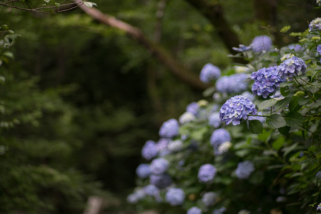 生田緑地【あじさい山の紫陽花】5