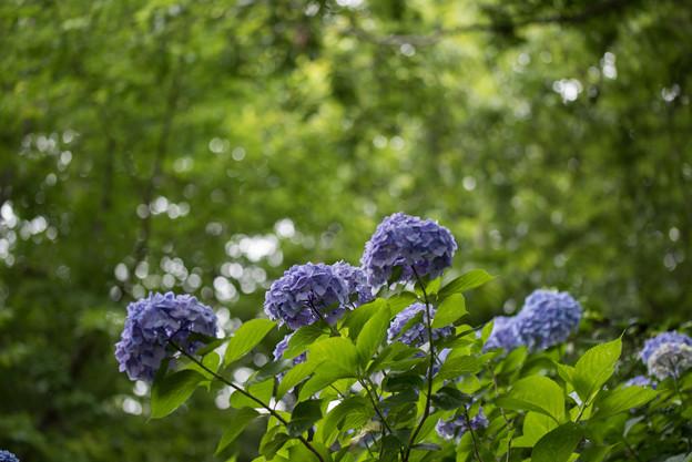 薬師池公園【えびね苑:青色のアジサイ】3