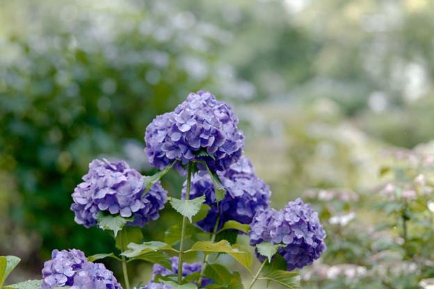 薬師池公園【えびね苑:青色のアジサイ】4銀塩