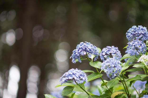 薬師池公園【えびね苑:ウズアジサイ】2