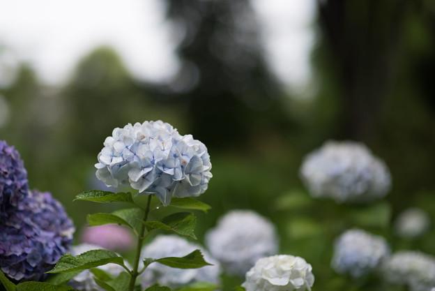 府中市郷土の森【アジサイのピックアップ】6