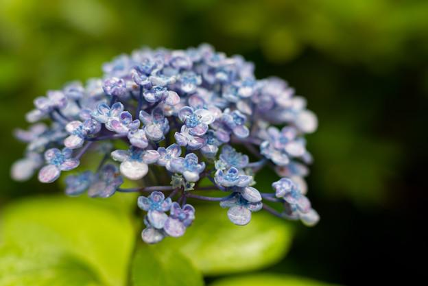 庭の花【ウズアジサイ】4