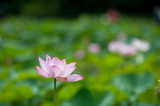 花菜ガーデン【蓮の花:大賀蓮】4