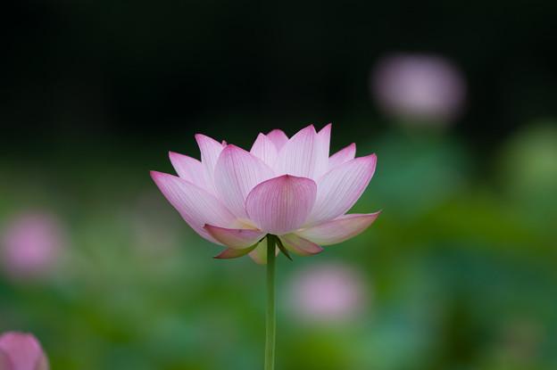 花菜ガーデン【蓮の花:大賀蓮】5