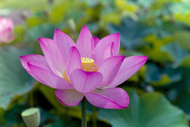 花菜ガーデン【蓮の花:大賀蓮】銀塩4