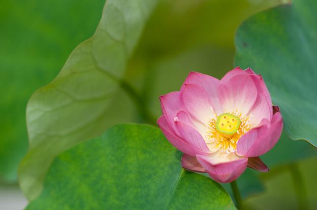 花菜ガーデン【蓮の花:小寿星】