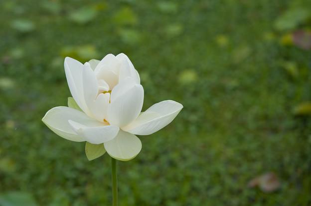 花菜ガーデン【蓮の花:白光蓮】