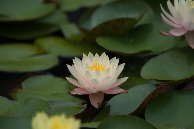 花菜ガーデン【薄ピンク色の睡蓮】5