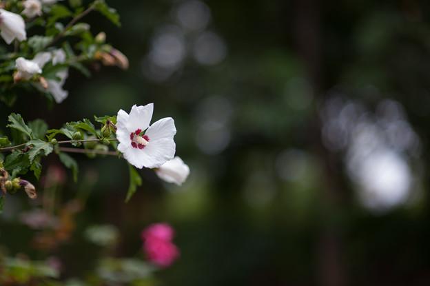 花菜ガーデン【ムクゲ】2