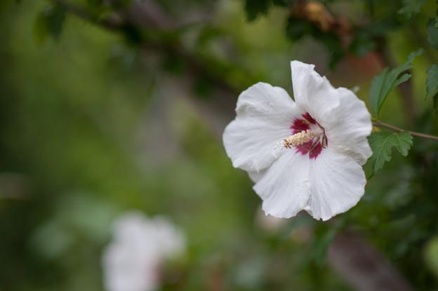 花菜ガーデン【ムクゲ】3
