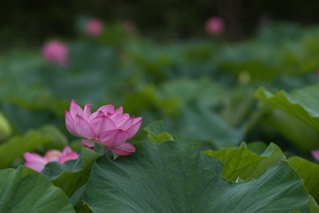 昭和記念公園【こもれびの里の蓮】1