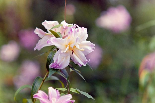 昭和記念公園【八重咲きのユリ:オリエンタルハイブリット・アスカ】3銀塩
