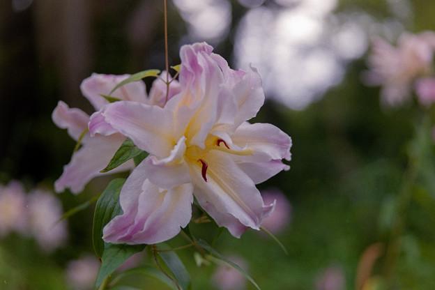 昭和記念公園【八重咲きのユリ:オリエンタルハイブリット・アスカ】4銀塩