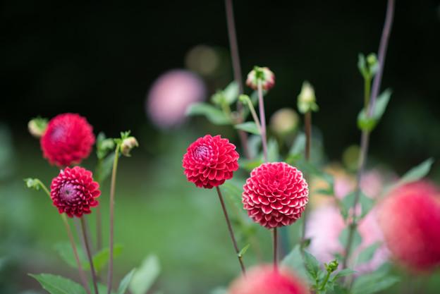 昭和記念公園【ダリアの庭】2