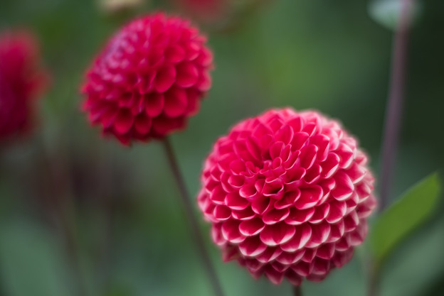 昭和記念公園【ダリアの庭】5