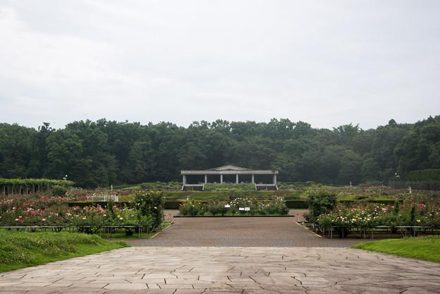 神代植物公園【7月のバラ園の様子】1