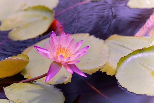 神代植物公園【熱帯スイレン:アフター・グロー】銀塩