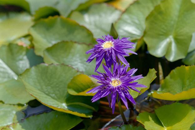 神代植物公園【熱帯スイレン:ギング・オブ・サイアム】銀塩