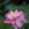 神代植物公園【蓮の花:紅万々】1