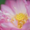 神代植物公園【蓮の花:紅万々】2