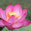 神代植物公園【蓮の花:蜀紅蓮】3