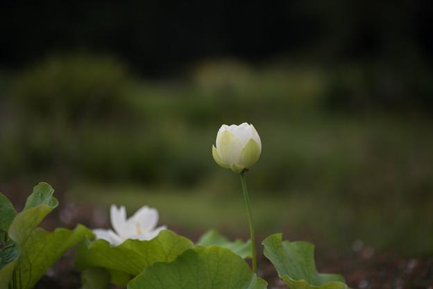 神代植物公園【蓮の花:真如蓮】