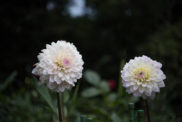 神代植物公園【ダリア:そよ風】