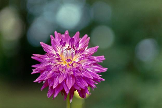 神代植物公園【ダリア:紫閃光】銀塩