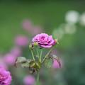 神代植物公園【薔薇:No2921】1