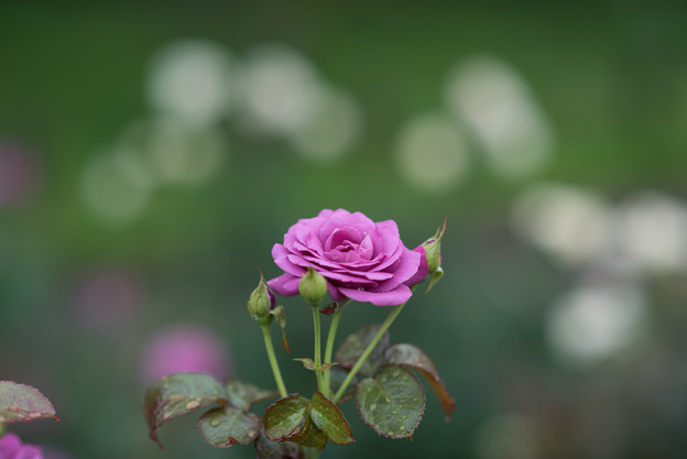 神代植物公園【薔薇:No2921】2