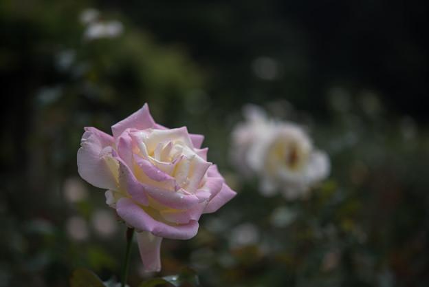 神代植物公園【薔薇:ガーデン・パーティ】