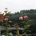 神代植物公園【薔薇:クイーン・エリザベス】