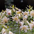 Photos: 神代植物公園【ユリ】1銀塩