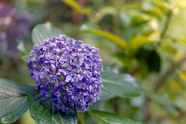 神代植物公園【紫陽花:ウズアジサイ】銀塩