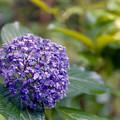 Photos: 神代植物公園【紫陽花:ウズアジサイ】銀塩