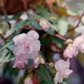 Photos: 神代植物公園【ベゴニア】2銀塩