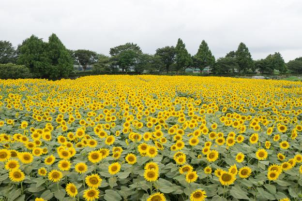 Photos: 座間ひまわり祭り【座間会場】1-2