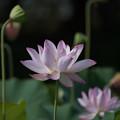 花菜ガーデン【田んぼたんぼの蓮】5