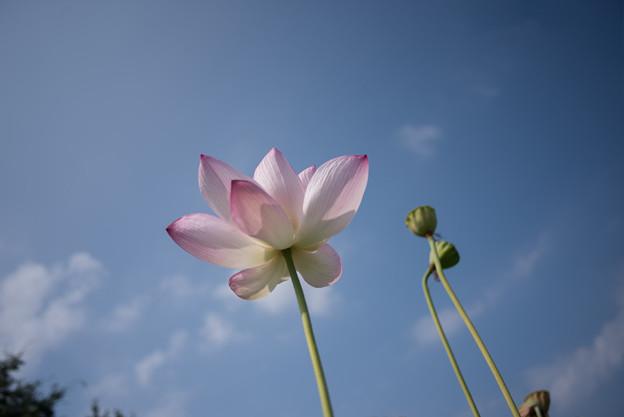 花菜ガーデン【田んぼたんぼの蓮】6